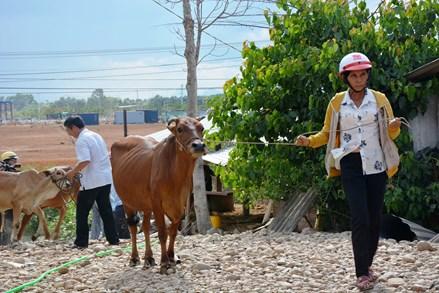 Quảng Ngãi: Mặt trận huyện Sơn Tịnh hỗ trợ bò giống cho hộ nghèo
