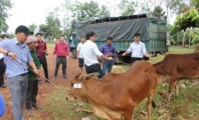 Bình Phước: Tặng bò cho hộ nghèo