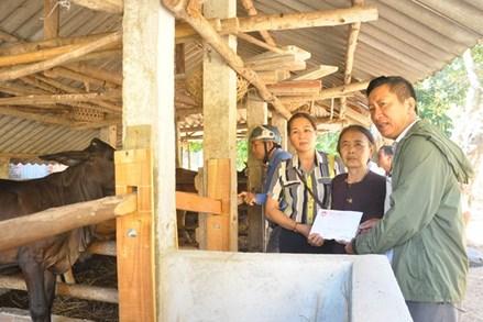 Quảng Ngãi: Sơn Tịnh hỗ trợ 8 con bò giống cho hộ nghèo